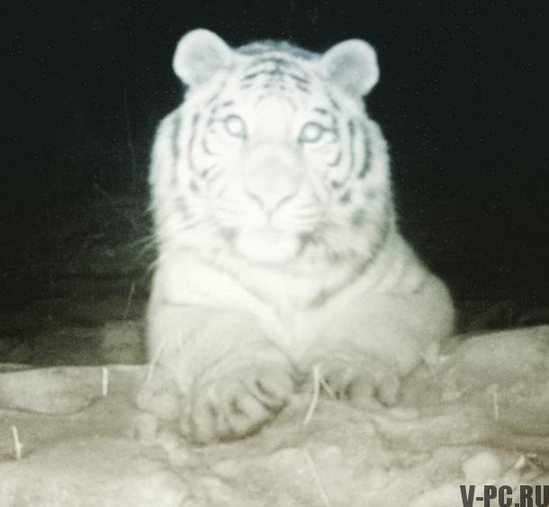тигр сделал селфи